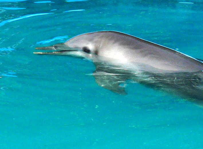 dolphins head clip art
