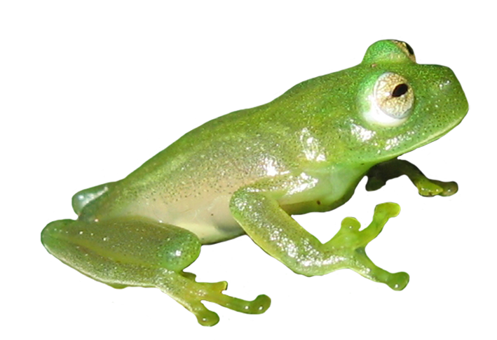 picture of green frog