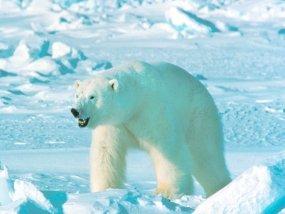 polar bear eisbar in snow