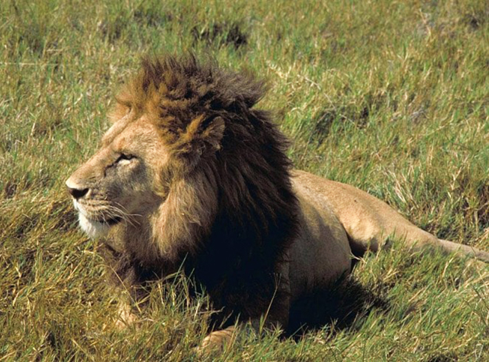 african lion male pictures