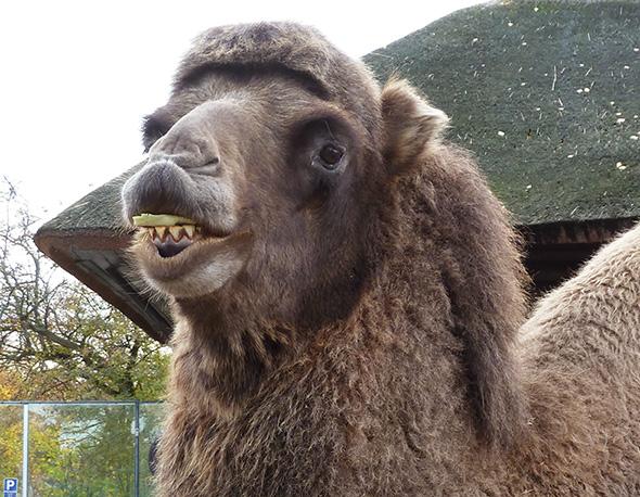 Camel eating green salad leaves