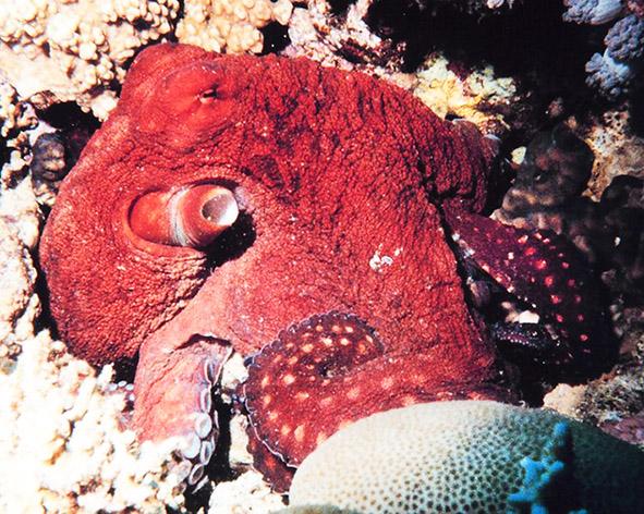 octopus macropus picture