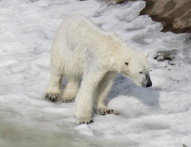 polar bear pictures polar bear on ice