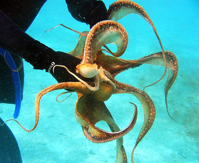 octopus ornatus picture