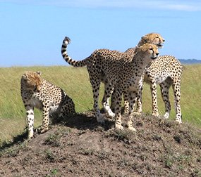 cheetah-pictures-masai-mara
