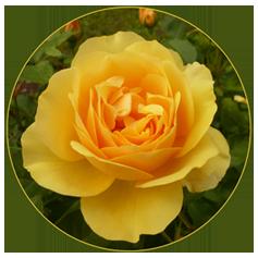 Yellow Valentine Day Roses