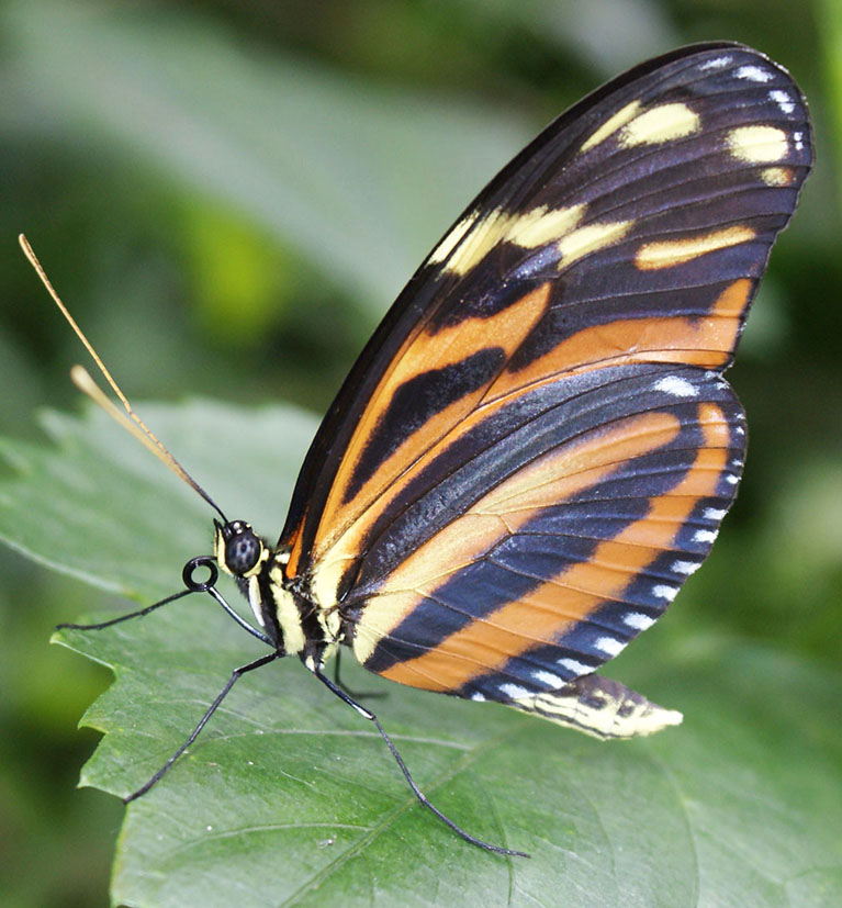 Lycorea Cleobaea