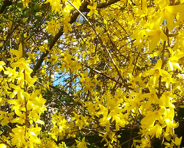 yellow forsythia flowers in spring