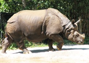 Indian rhino in zoo