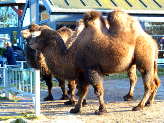 Three camels in zoo