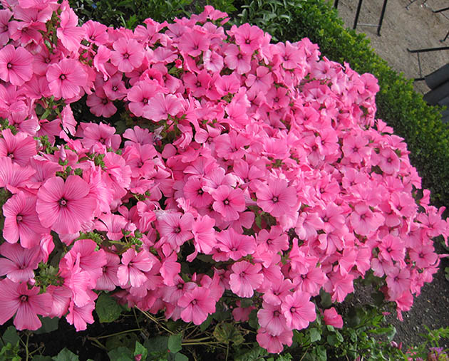 picture of lots of pink flowers