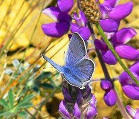 male Mission blue butterfly on flower
