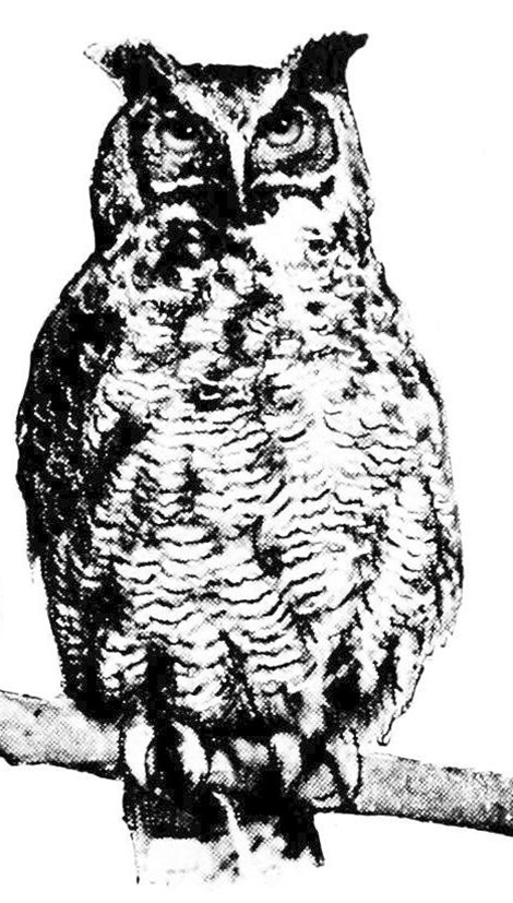 horned owl drawing