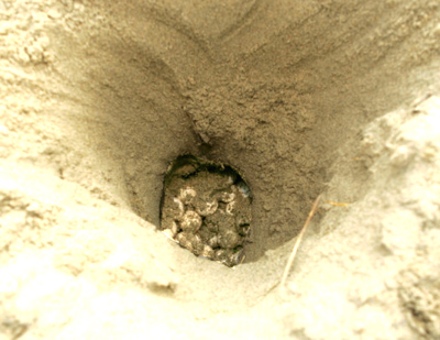 nest with loggerhead eggs at beach