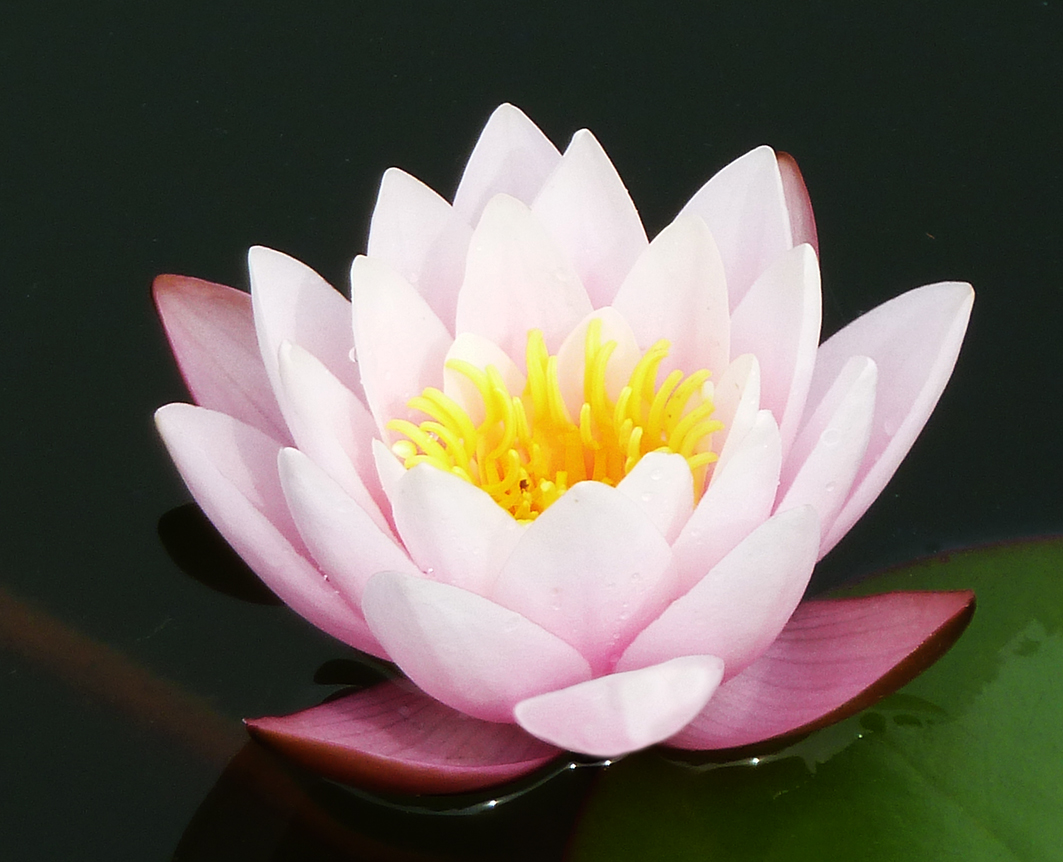 Waterlily floating on water