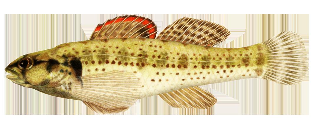 Okaloosa darter fish clipart