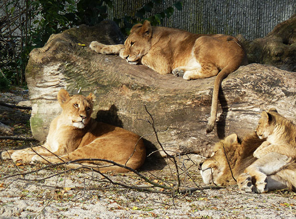 Lion family in zoo