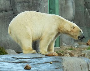 Polar bear picture side view