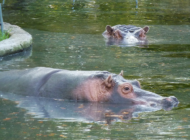 two hippos in water in zoo