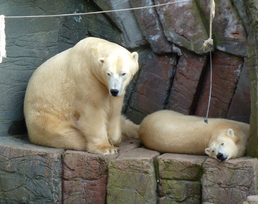 Polar bears taking a nap