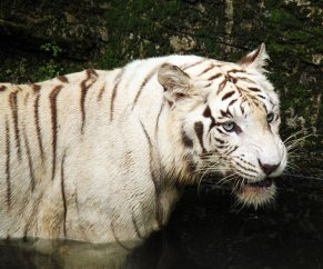 White tiger in the water