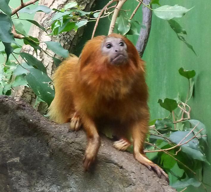 golden lion tamarin looking up