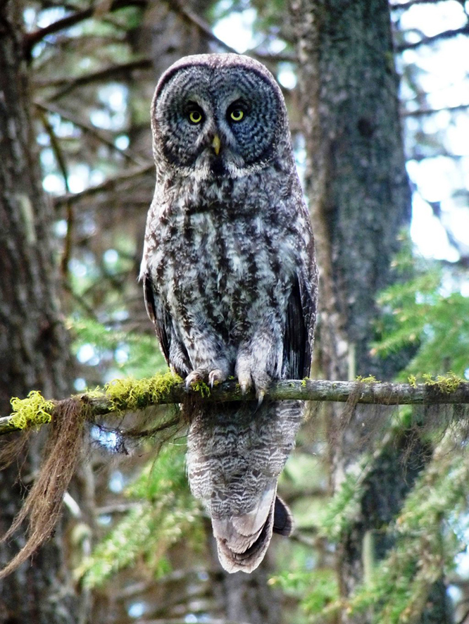 great gray owl taking a nap