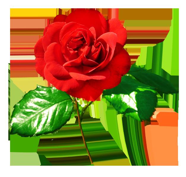 Rose image red rose
