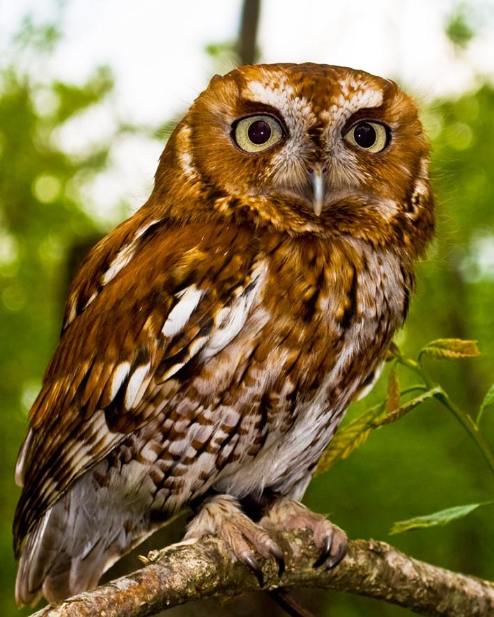 owl facts true owl