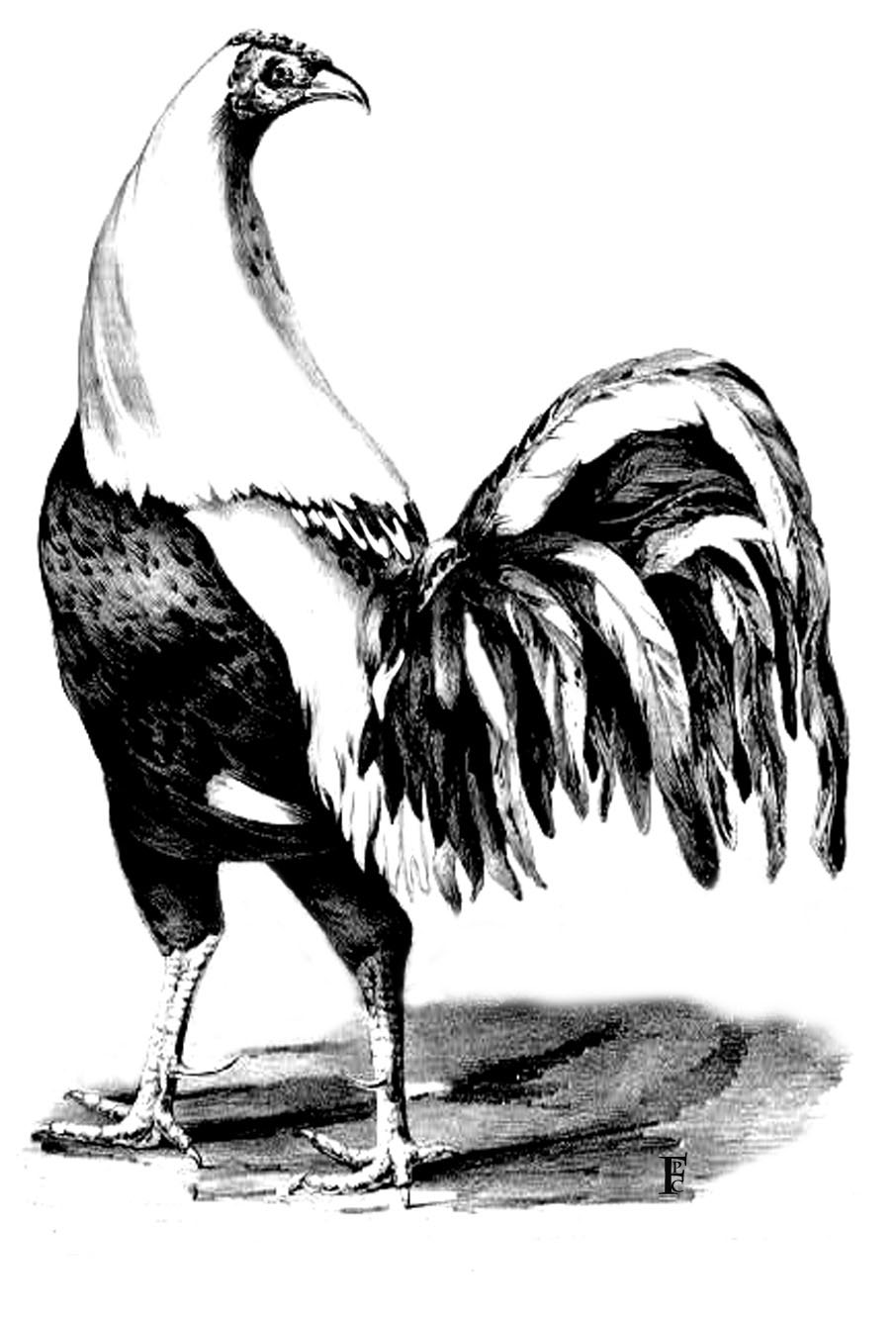 animal-coloring-page-rooster