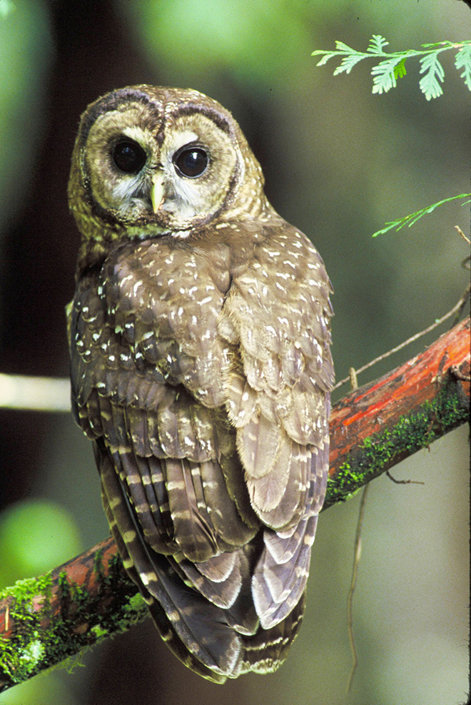 Northern spotted owl turning head