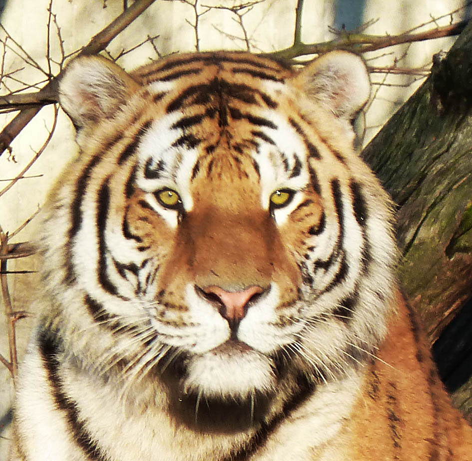 tiger picture for a puzzle