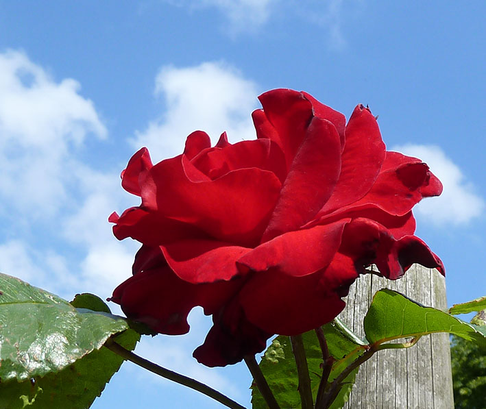 red rose against the blue sky