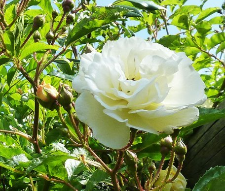 white rose and rose buds