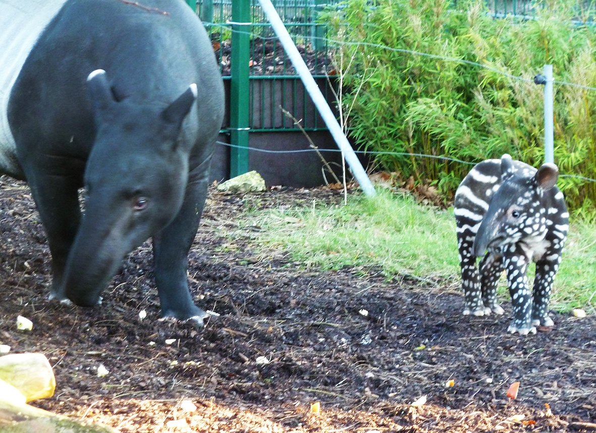 tapir pictures mother and child