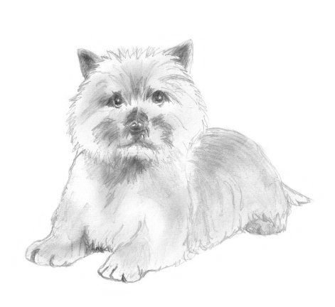 cairn terrier drawing