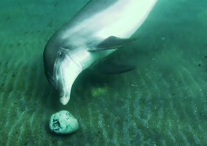 bottlenose dolphin playing with stone