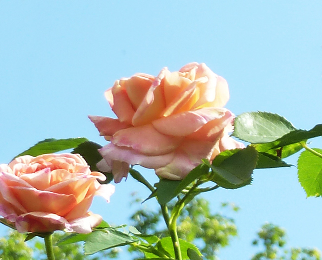 pink roses and blue sky