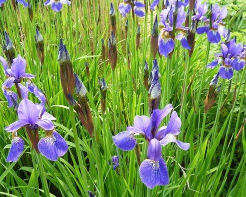 lots of blue iris flowers