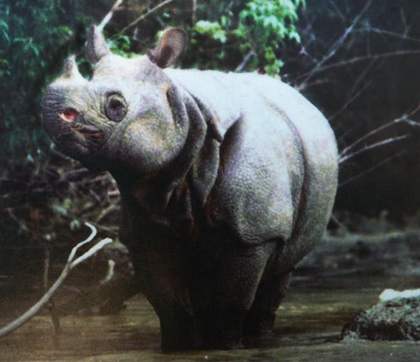 Javan rhinoceros in tropical forest
