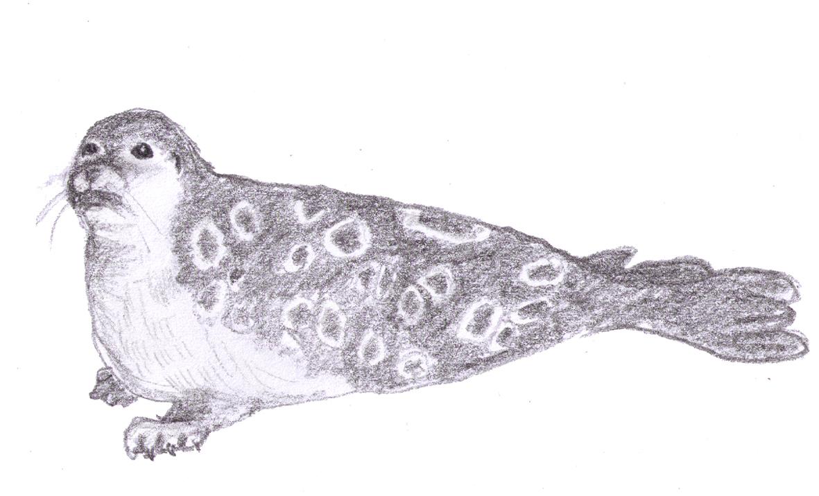 pencil drawing of seal