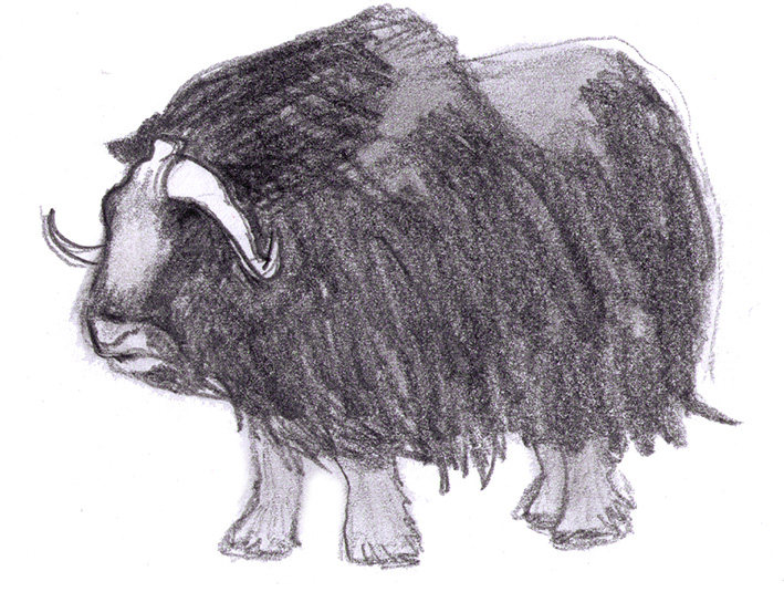 drawing of muskox