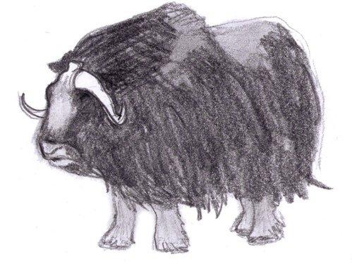 drawing of muskox