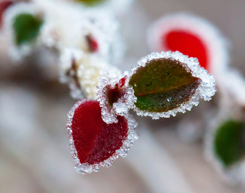 red heart shaped leaf with hoar-frost