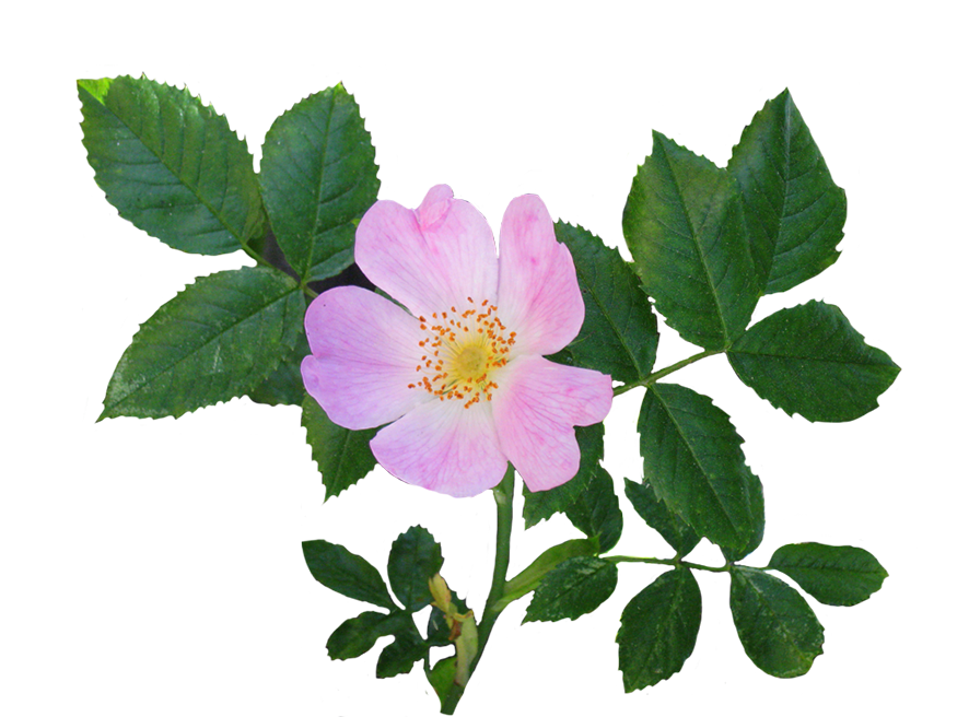wild rose flower and leaves