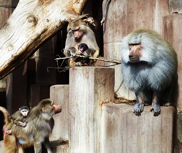 Baboon family in zoo