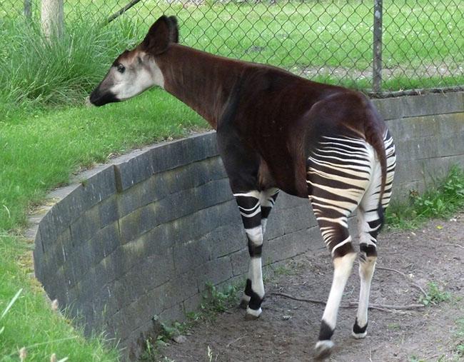 Okapi in zoo