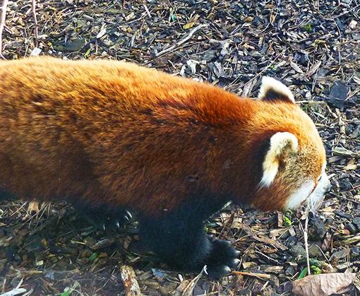 photo of lesser panda