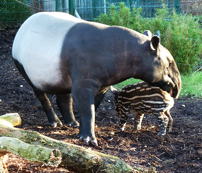 Tapir facts and pictures mother and child