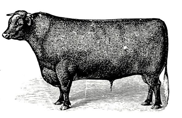 Victorian bull sketch